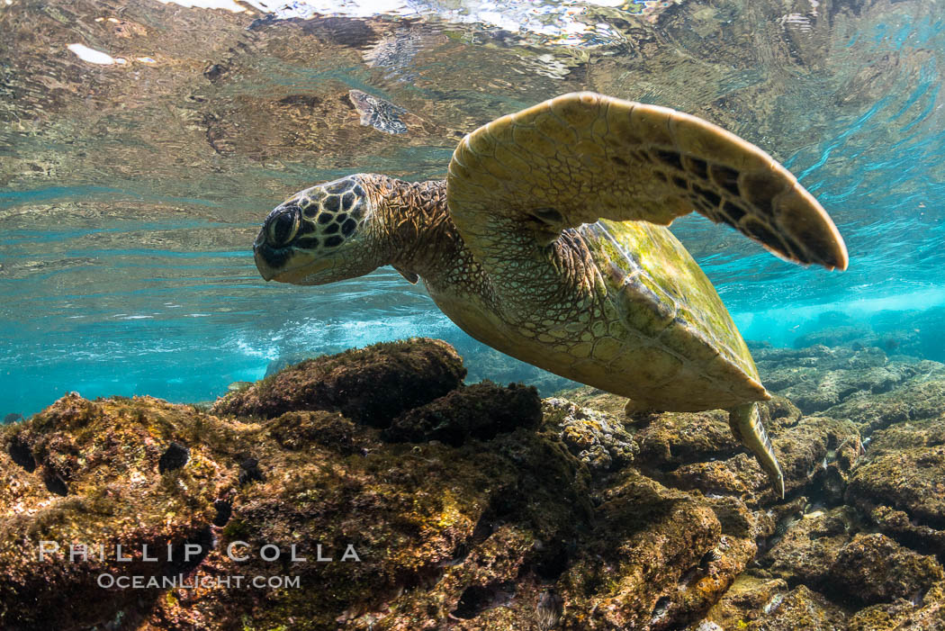 Green sea turtle foraging for algae on coral reef, Chelonia mydas, West Maui, Hawaii. USA, Chelonia mydas, natural history stock photograph, photo id 34510