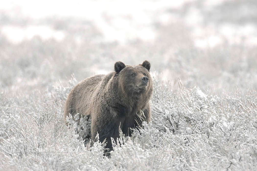 Grizzly bear in snow. Lamar Valley, Yellowstone National Park, Wyoming, USA, Ursus arctos horribilis, natural history stock photograph, photo id 19619