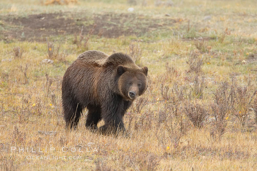 Grizzly bear, autumn, fall, brown grasses. Lamar Valley, Yellowstone National Park, Wyoming, USA, Ursus arctos horribilis, natural history stock photograph, photo id 19618