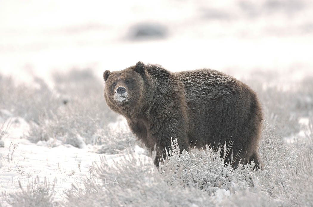 Grizzly bear in snow. Lamar Valley, Yellowstone National Park, Wyoming, USA, Ursus arctos horribilis, natural history stock photograph, photo id 19624