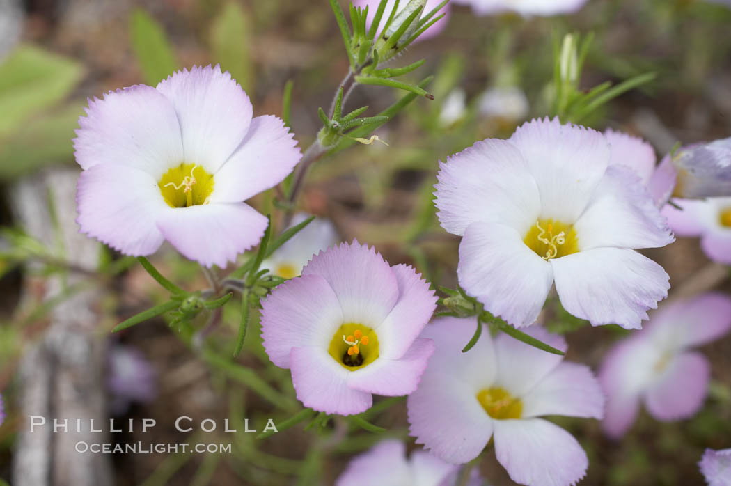 Ground pink blooms in spring, Batiquitos Lagoon, Carlsbad. California, USA, Linanthus dianthiflorus, natural history stock photograph, photo id 11486