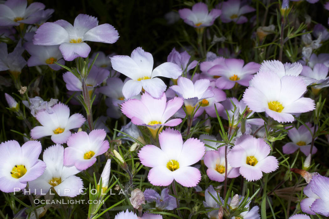 Ground pink blooms in spring, Batiquitos Lagoon, Carlsbad. California, USA, Linanthus dianthiflorus, natural history stock photograph, photo id 11514