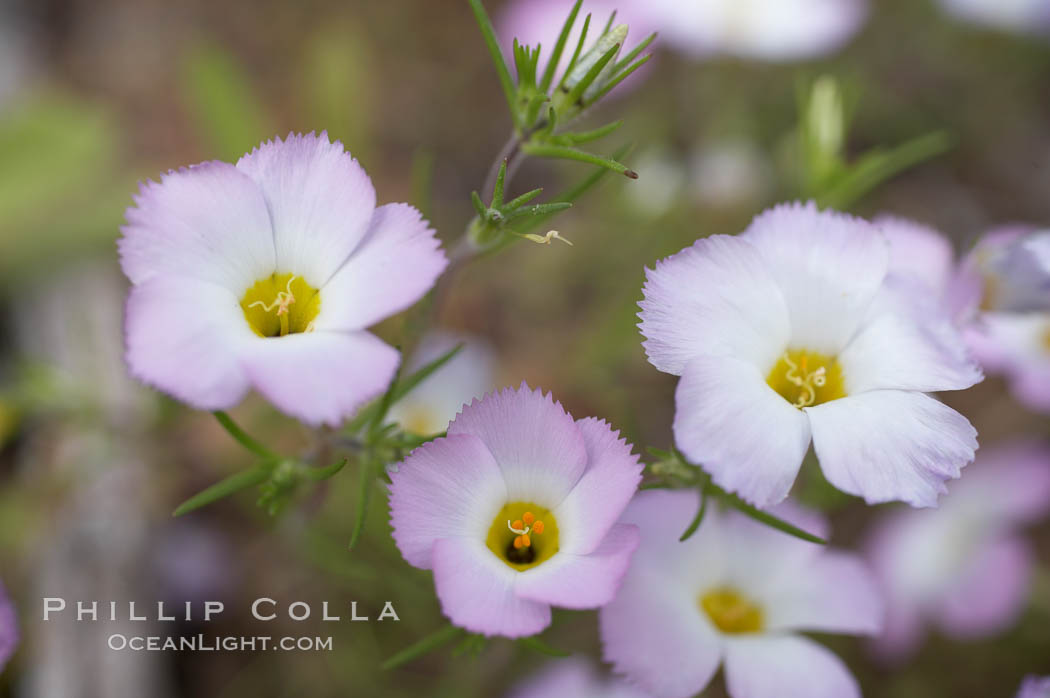 Ground pink blooms in spring, Batiquitos Lagoon, Carlsbad. California, USA, Linanthus dianthiflorus, natural history stock photograph, photo id 11496