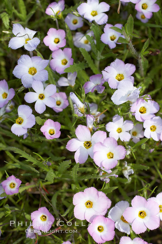 Ground pink blooms in spring, Batiquitos Lagoon, Carlsbad. Batiquitos Lagoon, Carlsbad, California, USA, Linanthus dianthiflorus, natural history stock photograph, photo id 11508