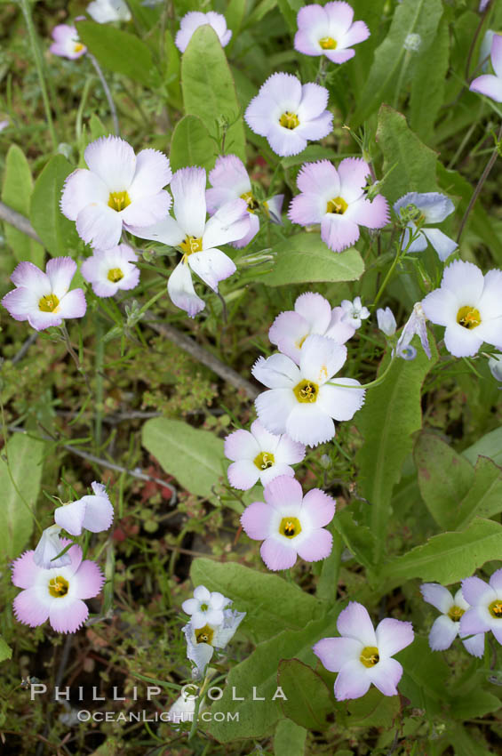 Ground pink blooms in spring, Batiquitos Lagoon, Carlsbad. Batiquitos Lagoon, Carlsbad, California, USA, Linanthus dianthiflorus, natural history stock photograph, photo id 11487