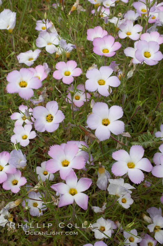 Ground pink blooms in spring, Batiquitos Lagoon, Carlsbad. Batiquitos Lagoon, Carlsbad, California, USA, Linanthus dianthiflorus, natural history stock photograph, photo id 11511