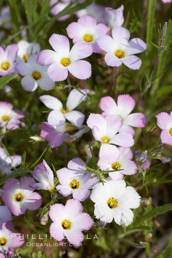 Ground pink blooms in spring, Batiquitos Lagoon, Carlsbad. Batiquitos Lagoon, Carlsbad, California, USA, Linanthus dianthiflorus, natural history stock photograph, photo id 11493