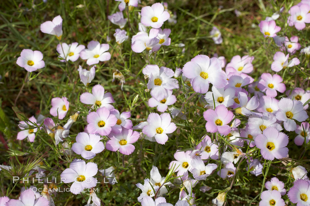 Ground pink blooms in spring, Batiquitos Lagoon, Carlsbad. Batiquitos Lagoon, Carlsbad, California, USA, Linanthus dianthiflorus, natural history stock photograph, photo id 11505