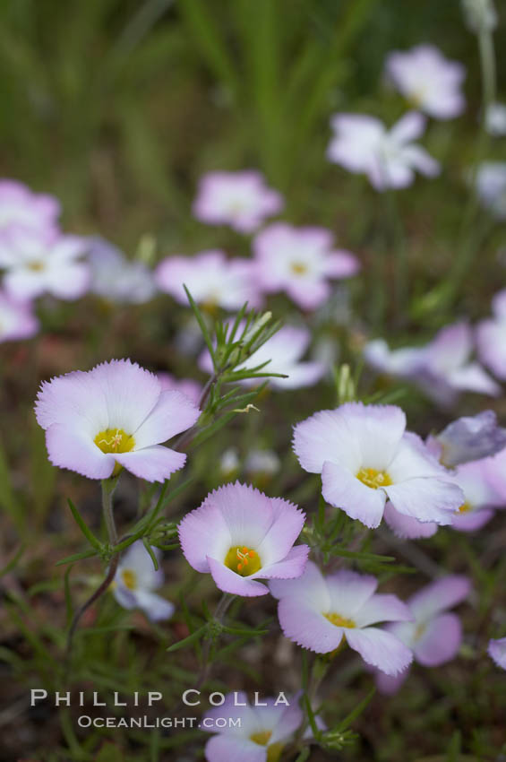 Ground pink blooms in spring, Batiquitos Lagoon, Carlsbad. California, USA, Linanthus dianthiflorus, natural history stock photograph, photo id 11492