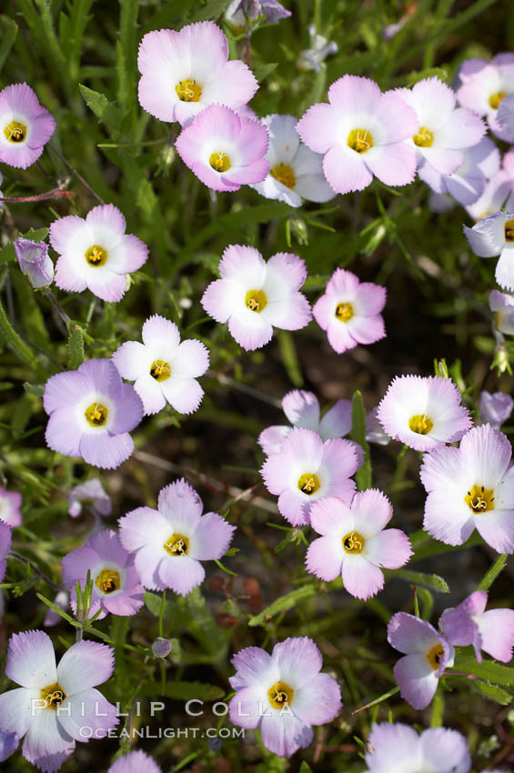 Ground pink blooms in spring, Batiquitos Lagoon, Carlsbad. California, USA, Linanthus dianthiflorus, natural history stock photograph, photo id 11507
