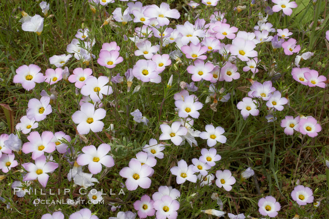 Ground pink blooms in spring, Batiquitos Lagoon, Carlsbad. Batiquitos Lagoon, Carlsbad, California, USA, Linanthus dianthiflorus, natural history stock photograph, photo id 11501