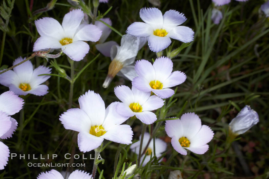 Ground pink blooms in spring, Batiquitos Lagoon, Carlsbad. California, USA, Linanthus dianthiflorus, natural history stock photograph, photo id 11513