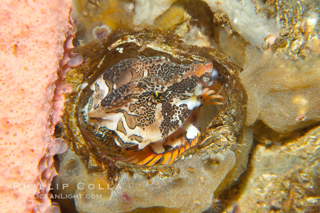 Image 13726, Grunt sculpin poised in a barnacle shell.  Grunt sculpin have evolved into its strange shape to fit within a giant barnacle shell perfectly, using the shell to protect its eggs and itself., Rhamphocottus richardsoni, Phillip Colla, all rights reserved worldwide. Keywords: animal, creature, fish, grunt sculpin, marine, marine fish, nature, ocean, rhamphocottus richardsoni, sculpin, sea, teleost fish, underwater, wildlife.