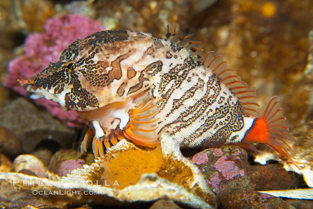 Grunt sculpin.  Grunt sculpin have evolved into its strange shape to fit within a giant barnacle shell perfectly, using the shell to protect its eggs and itself., Rhamphocottus richardsoni, natural history stock photograph, photo id 13729