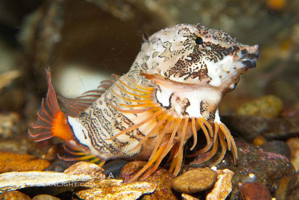 Grunt sculpin.  Grunt sculpin have evolved into its strange shape to fit within a giant barnacle shell perfectly, using the shell to protect its eggs and itself., Rhamphocottus richardsoni, natural history stock photograph, photo id 13730