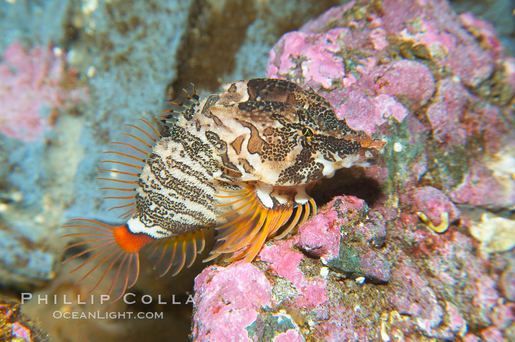Grunt sculpin.  Grunt sculpin have evolved into its strange shape to fit within a giant barnacle shell perfectly, using the shell to protect its eggs and itself., Rhamphocottus richardsoni, natural history stock photograph, photo id 13724