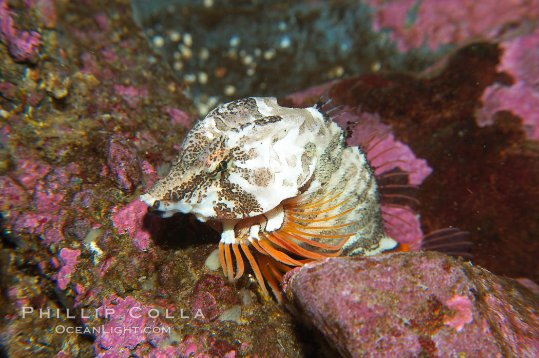 Grunt sculpin.  Grunt sculpin have evolved into its strange shape to fit within a giant barnacle shell perfectly, using the shell to protect its eggs and itself., Rhamphocottus richardsoni, natural history stock photograph, photo id 13727