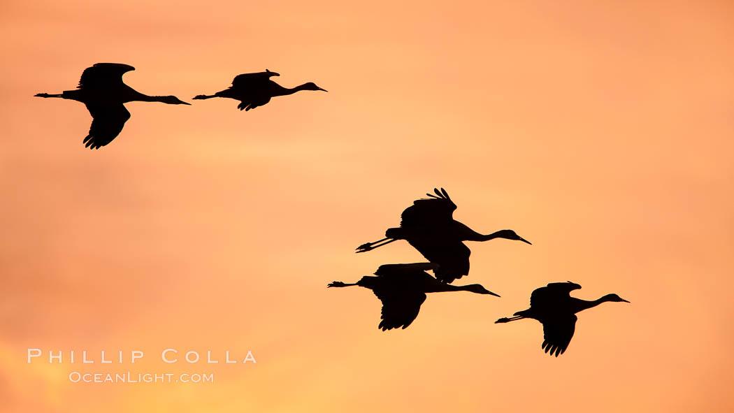 Sandhill cranes in flight, sunset. Bosque Del Apache, Socorro, New Mexico, USA, Grus canadensis, natural history stock photograph, photo id 26213