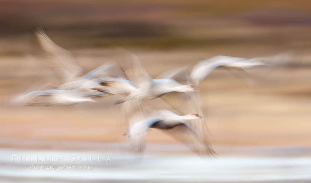 Sandhill cranes flying, wings blurred from long time exposure. Bosque Del Apache, Socorro, New Mexico, USA, Grus canadensis, natural history stock photograph, photo id 26216