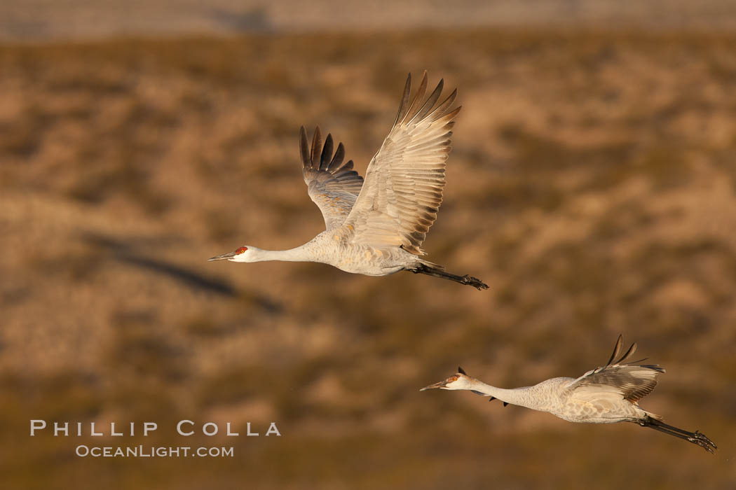Sandhill cranes flying, sunrise. Bosque Del Apache, Socorro, New Mexico, USA, Grus canadensis, natural history stock photograph, photo id 26280