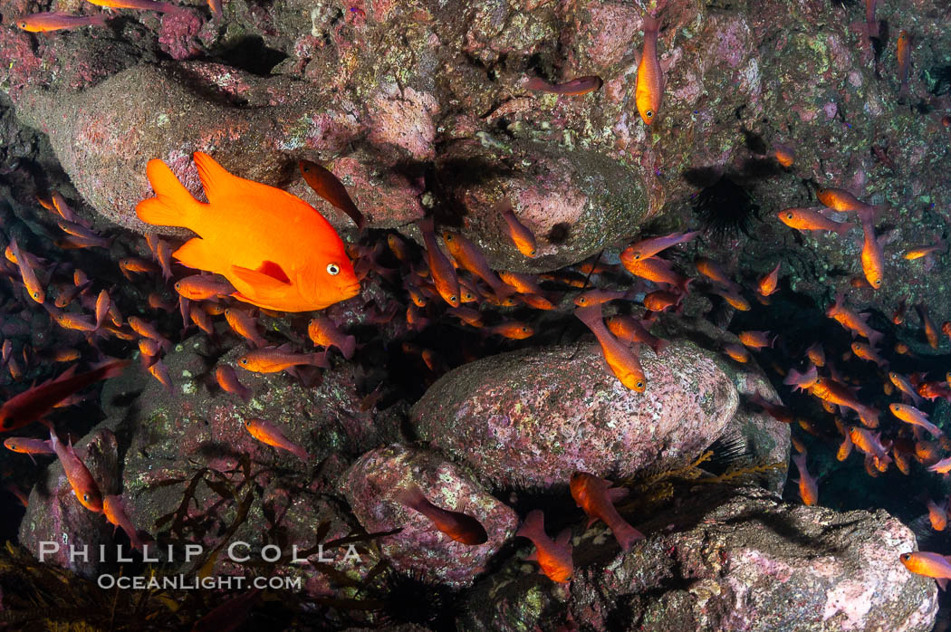 Guadalupe cardinalfish (and a lone orange garibaldi), typically schooling together in the shadow of a rock ledge. Guadalupe Island (Isla Guadalupe), Baja California, Mexico, Apogon guadalupensis, natural history stock photograph, photo id 09588