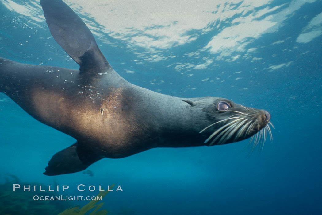 Guadalupe fur seal, Islas San Benito. San Benito Islands (Islas San Benito), Baja California, Mexico, Arctocephalus townsendi, natural history stock photograph, photo id 02298