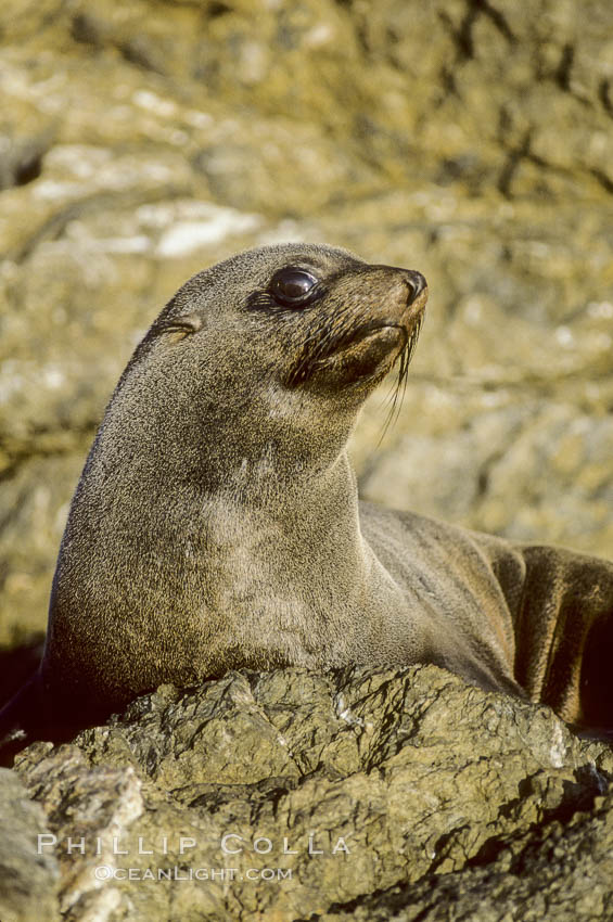 Image 02103, Guadalupe fur seal, San Benito Islands. San Benito Islands (Islas San Benito), Baja California, Mexico, Arctocephalus townsendi, Phillip Colla, all rights reserved worldwide. Keywords: animal, animalia, arctocephalus, arctocephalus townsendi, arctoc�phale de guadalupe, baja california, california, caniformia, carnivora, carnivore, chordata, creature, eared seal, endangered, endangered threatened species, endemic species, fur seal, guadalupe fur seal, guadalupe island, juvenile pup, lower californian fur seal, mammal, mammalia, marine, marine mammal, mexico, nature, ocean, oceans, oso marino de guadalupe, otarid, otarie � fourrure d'am�rique, otariid, otariidae, pacific, pinniped, pinnipedia, san benito island, san benito islands, seal, threatened, townsendi, vertebrata, vertebrate, wildlife.