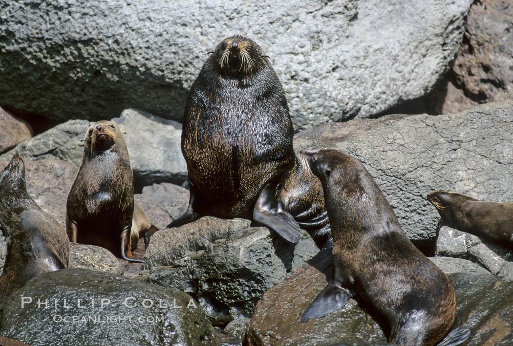 Guadalupe fur seal. Guadalupe Island (Isla Guadalupe), Baja California, Mexico, Arctocephalus townsendi, natural history stock photograph, photo id 10337
