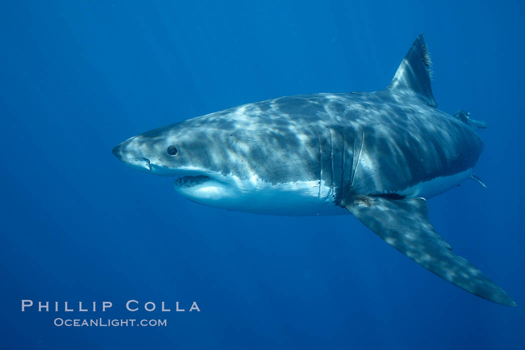 Great white shark, underwater. Guadalupe Island (Isla Guadalupe), Baja California, Mexico, Carcharodon carcharias, natural history stock photograph, photo id 21462