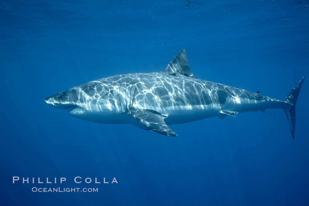 Great white shark, underwater. Guadalupe Island (Isla Guadalupe), Baja California, Mexico, Carcharodon carcharias, natural history stock photograph, photo id 21464