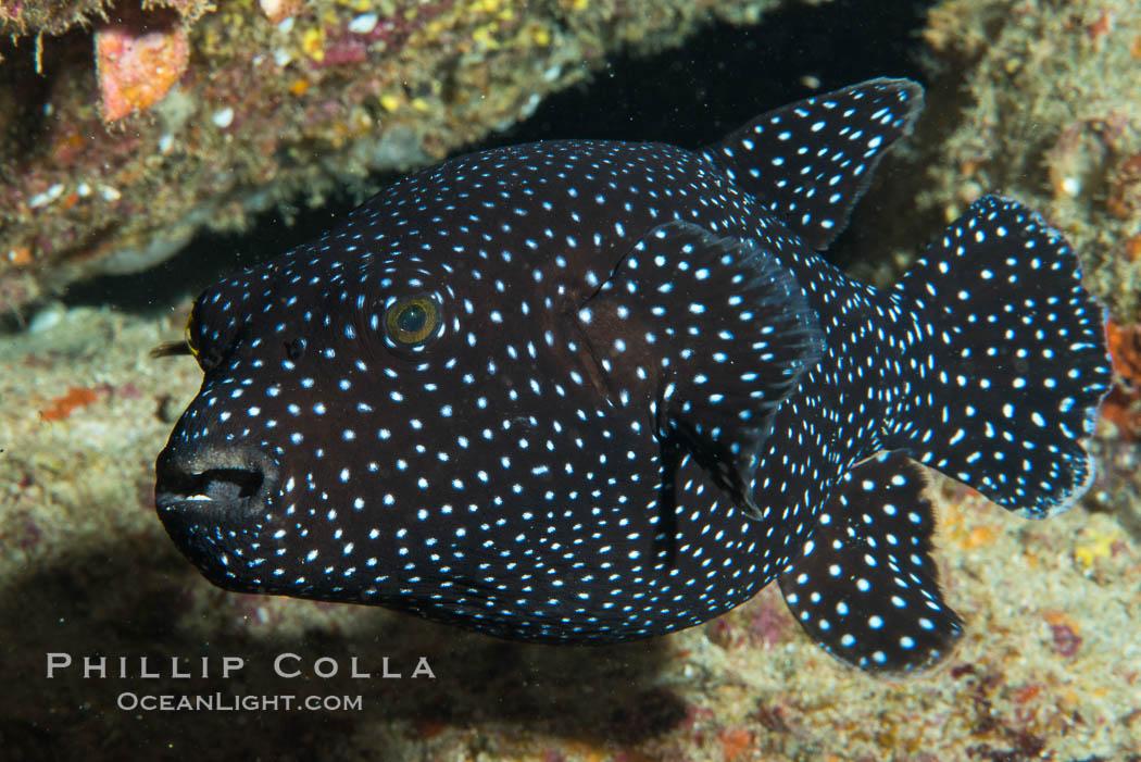 Guineafowl puffer fish, black phase. Isla San Diego, Baja California, Mexico, natural history stock photograph, photo id 33542