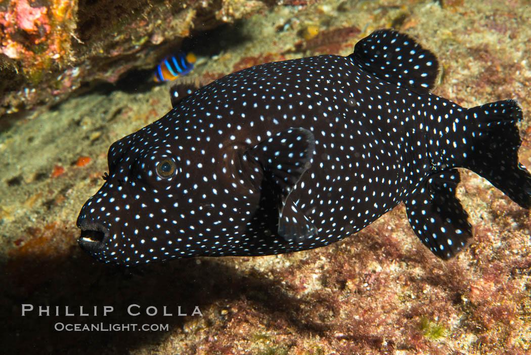 Guineafowl puffer fish, black phase. Isla San Diego, Baja California, Mexico, natural history stock photograph, photo id 33541