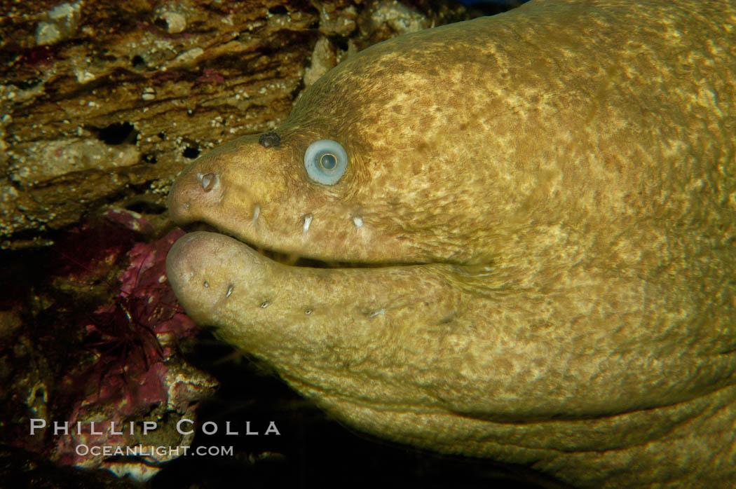 Moray eel., Gymnothorax mordax, natural history stock photograph, photo id 09478