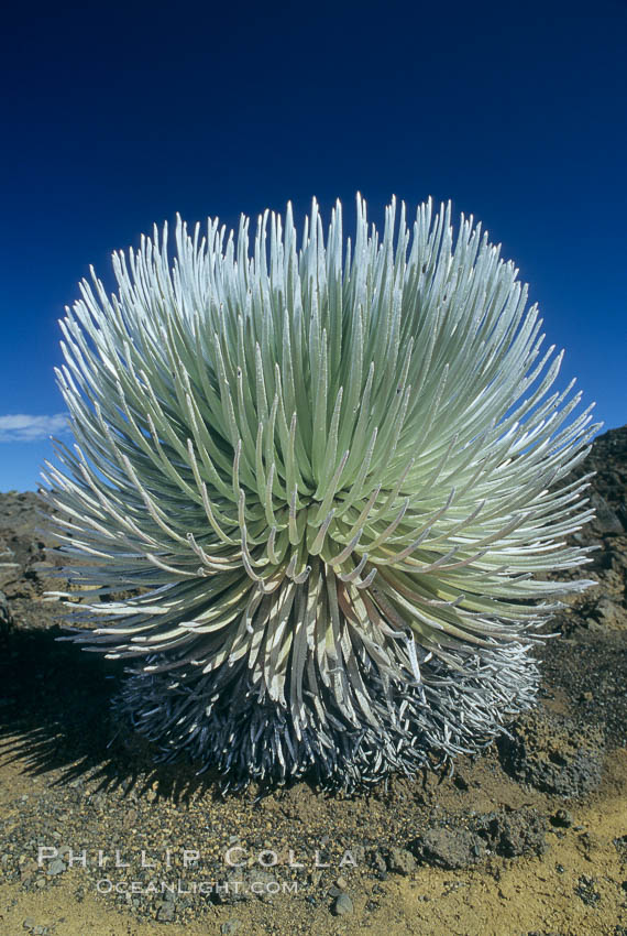 Haleakala silversword plant, endemic to the Haleakala volcano crater area above 6800 foot elevation. Maui, Hawaii, USA, Argyroxiphium sandwicense macrocephalum, natural history stock photograph, photo id 05614