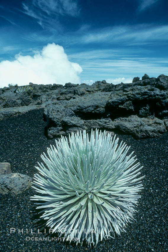 Haleakala silversword plant, endemic to the Haleakala volcano crater area above 6800 foot elevation. Maui, Hawaii, USA, Argyroxiphium sandwicense macrocephalum, natural history stock photograph, photo id 05616