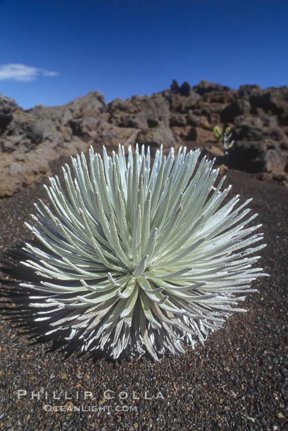 Haleakala silversword plant, endemic to the Haleakala volcano crater area above 6800 foot elevation. Maui, Hawaii, USA, Argyroxiphium sandwicense macrocephalum, natural history stock photograph, photo id 05611