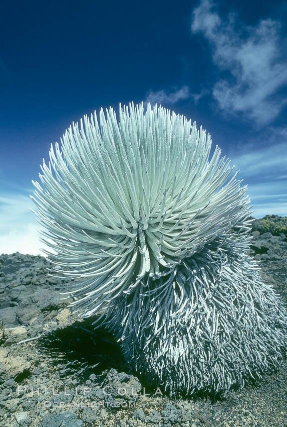 Haleakala silversword plant, endemic to the Haleakala volcano crater area above 6800 foot elevation. Maui, Hawaii, USA, Argyroxiphium sandwicense macrocephalum, natural history stock photograph, photo id 05615
