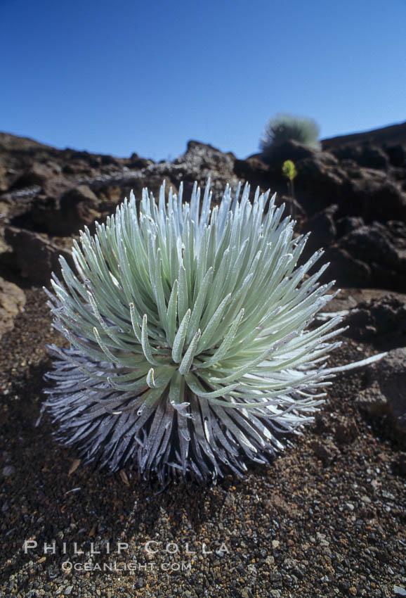 Haleakala silversword plant, endemic to the Haleakala volcano crater area above 6800 foot elevation. Maui, Hawaii, USA, Argyroxiphium sandwicense macrocephalum, natural history stock photograph, photo id 05613