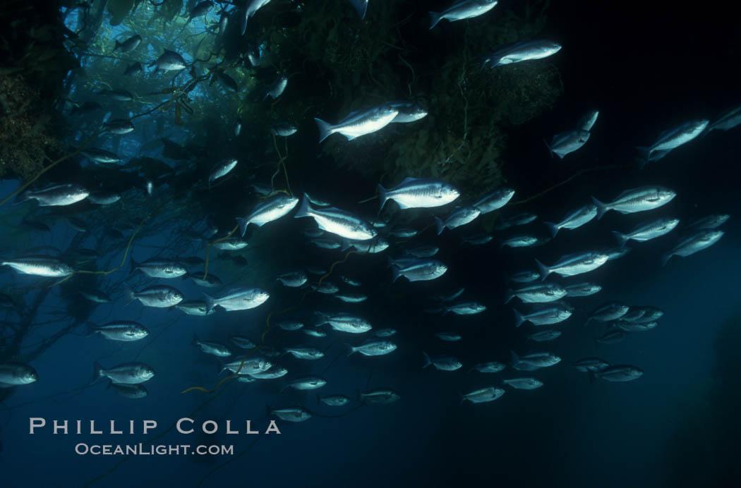 Half-moon perch school below offshore drift kelp. San Diego, California, USA, Medialuna californiensis, natural history stock photograph, photo id 07066