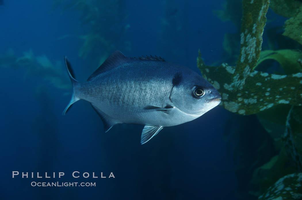 Half-moon perch. Santa Barbara Island, California, USA, Medialuna californiensis, natural history stock photograph, photo id 02434