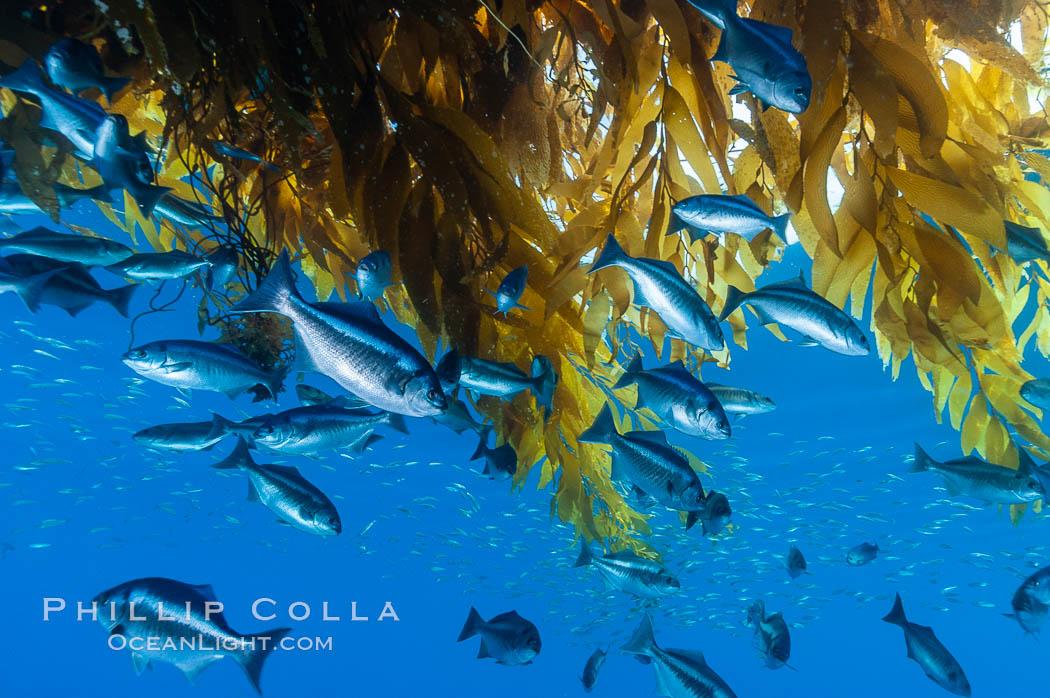 Half-moon perch school below offshore drift kelp, open ocean. San Diego, California, USA, Medialuna californiensis, natural history stock photograph, photo id 09986