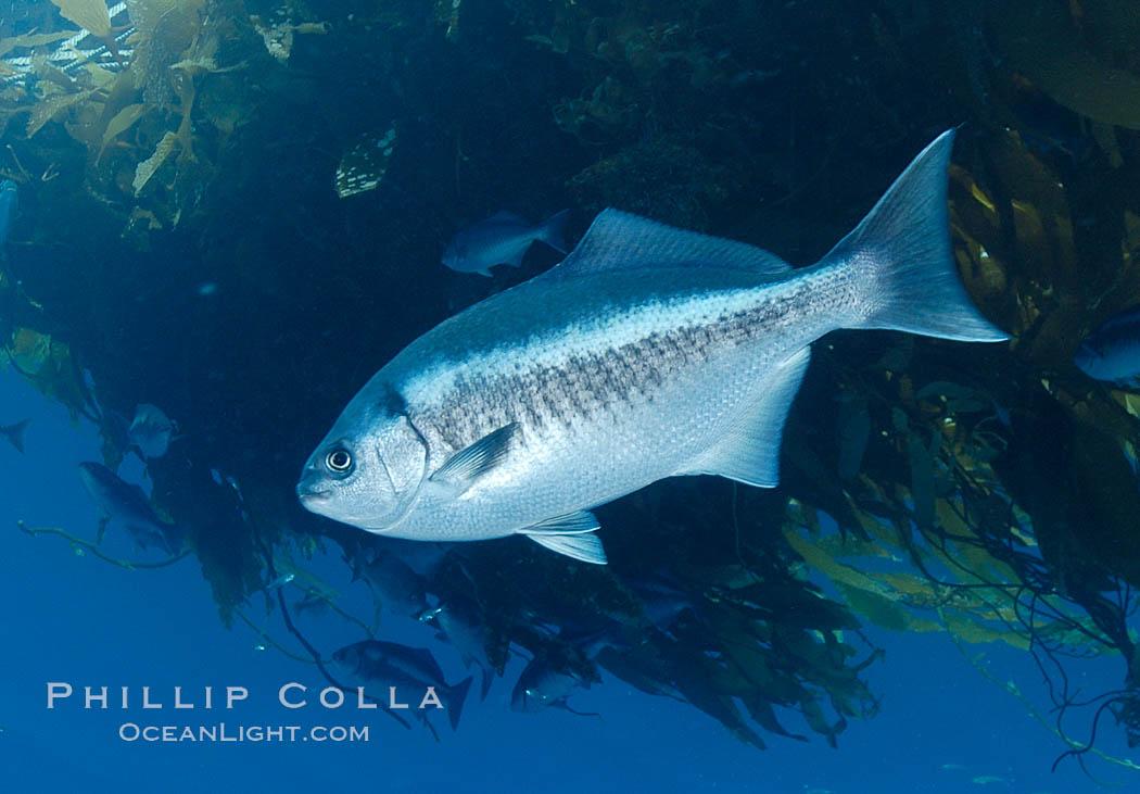 A half-moon perch below offshore drift kelp, open ocean. San Diego, California, USA, Medialuna californiensis, natural history stock photograph, photo id 09995