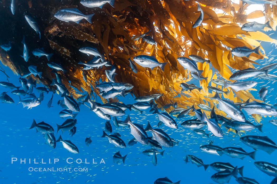 Half-moon perch school below offshore drift kelp, open ocean. San Diego, California, USA, Medialuna californiensis, natural history stock photograph, photo id 09989