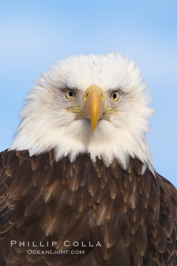 Bald eagle, closeup of head and shoulders showing distinctive white head feathers, yellow beak and brown body and wings. Kachemak Bay, Homer, Alaska, USA, Haliaeetus leucocephalus, Haliaeetus leucocephalus washingtoniensis, natural history stock photograph, photo id 22652