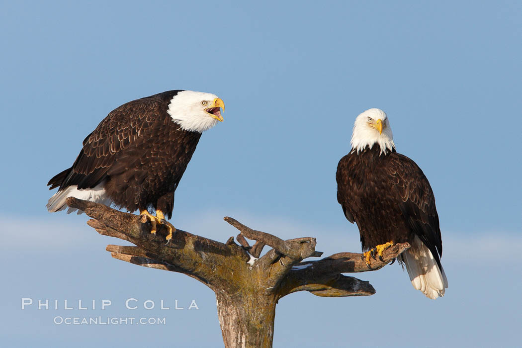 Two bald eagles on wooden perch, one calling vocalizing with beack open. Kachemak Bay, Homer, Alaska, USA, Haliaeetus leucocephalus, Haliaeetus leucocephalus washingtoniensis, natural history stock photograph, photo id 22639