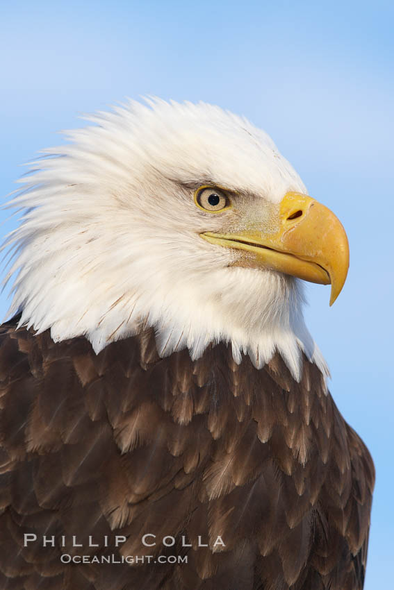 Bald eagle, closeup of head and shoulders showing distinctive white head feathers, yellow beak and brown body and wings. Kachemak Bay, Homer, Alaska, USA, Haliaeetus leucocephalus, Haliaeetus leucocephalus washingtoniensis, natural history stock photograph, photo id 22625
