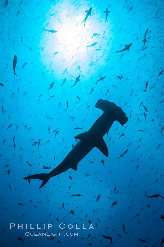 Scalloped hammerhead shark, black and white / grainy. Darwin Island, Galapagos Islands, Ecuador, Sphyrna lewini, natural history stock photograph, photo id 16265