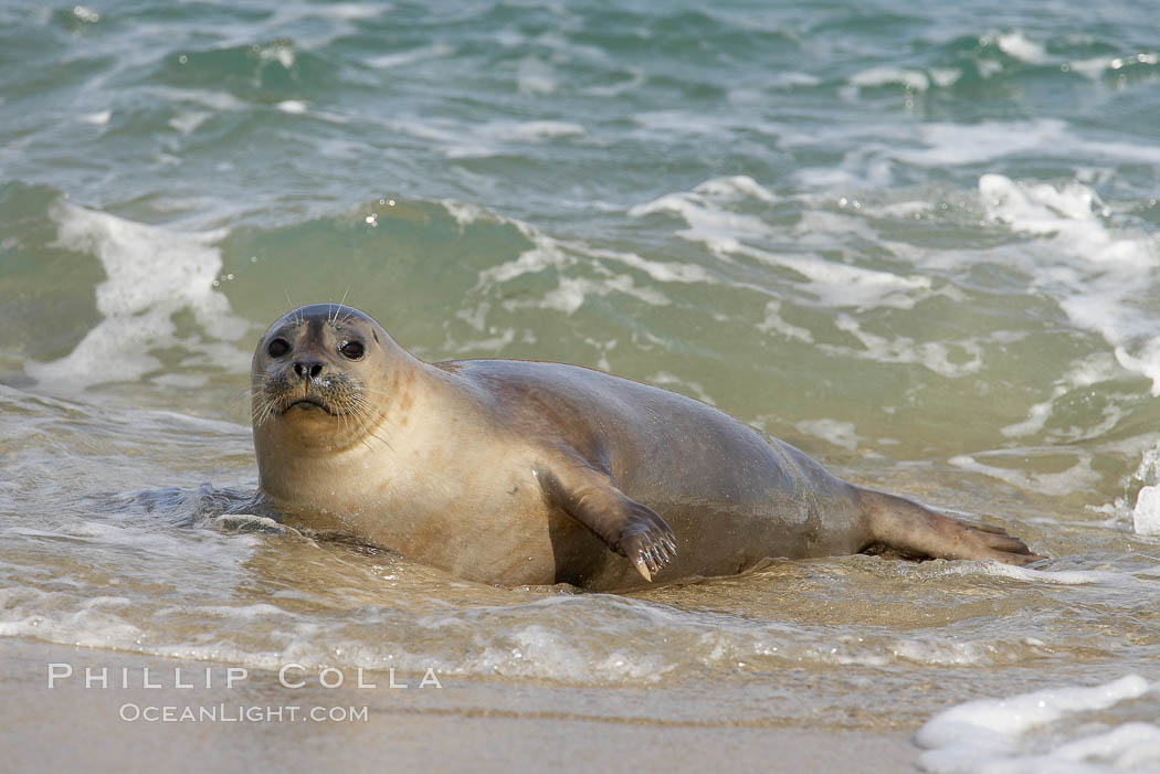 Pacific harbor seal washed by the ocean on sandy beach. La Jolla, California, USA, Phoca vitulina richardsi, natural history stock photograph, photo id 20224
