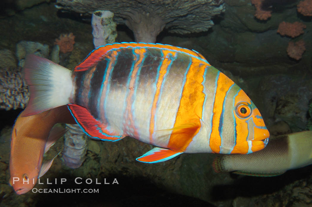 Image 08848, Harlequin tuskfish., Choerodon fasciatus, Phillip Colla, all rights reserved worldwide. Keywords: animal, choerodon fasciatus, color and pattern, fish, fish anatomy, harlequin tuskfish, marine fish, stripe, underwater, wrasse.