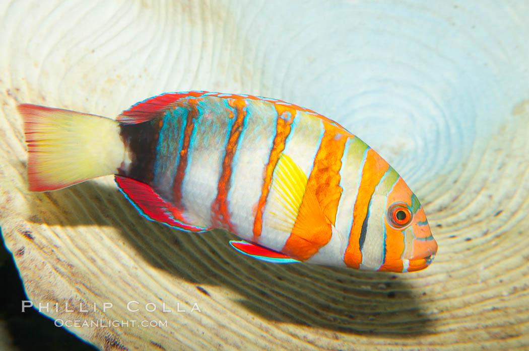 Harlequin tuskfish., Choerodon fasciatus, natural history stock photograph, photo id 12887